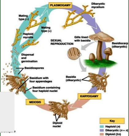 Life cycle of Basidiomycota