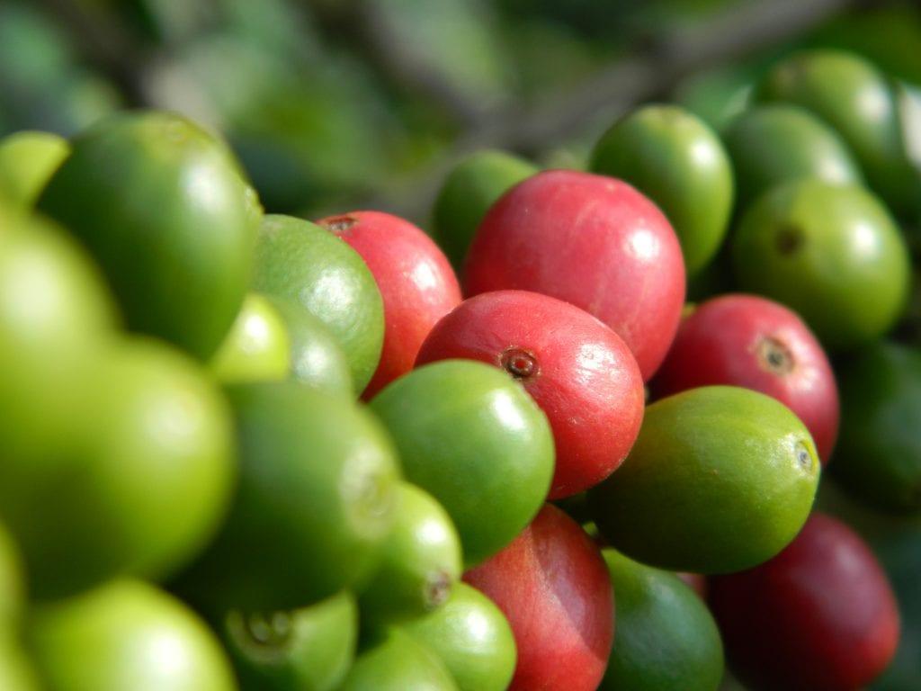ripening coffee cherries