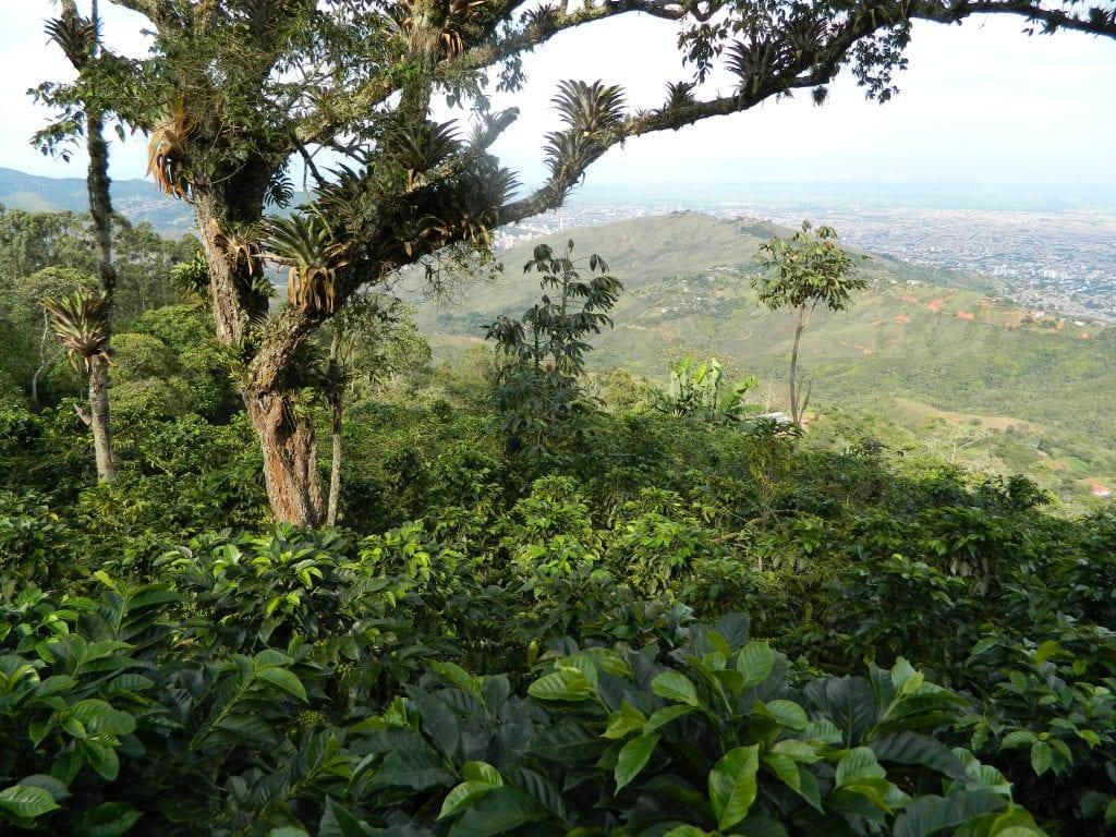 coffee growing at La Lomita