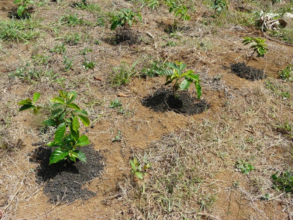 Biochar compost fertilizing coffee
