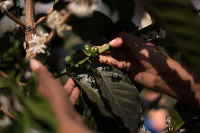 Coffee producer checks green, unripe coffee cherries