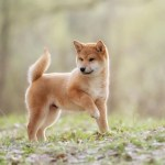 How Much Does A Shiba Inu Cost Complete Buyer S Guide Perfect Dog Breeds