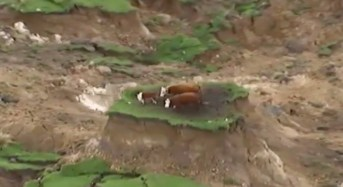 Αγελάδες επιβιώνουν από σεισμό σε νησίδα γης