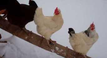 Πως κάνουν οι κότες όταν βλέπουν χιόνι για πρώτη φορά;