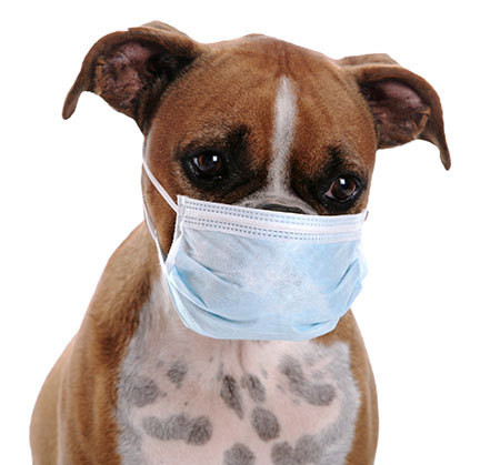 Image result for dog flu image