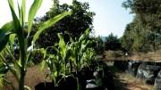 """UNAM crea """"milpa sustentable"""" una cruzada contra el hambre"""