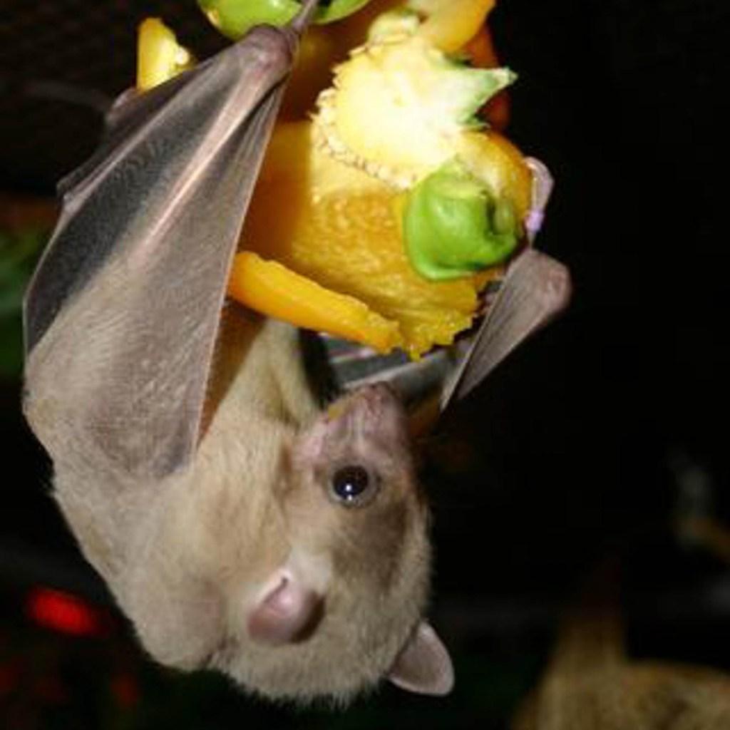 20 especies de murciélagos están amenazadas y/o están en peligro de extinción.