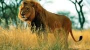 Decomisan a león africano que exhibían en un restaurante de Querétaro. Foto: Internet.