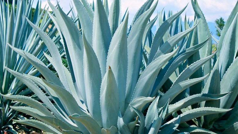 México tiene 159 especies de agave