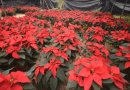 Productores de Nochebuena temen poca venta por la pandemia