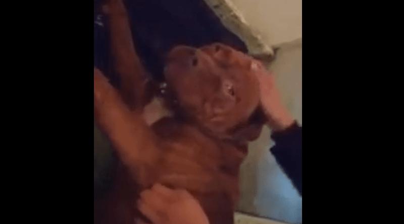 Hulk, el pitbull de Solano