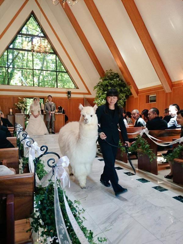 600x800xwedding-alpacas-600x800_jpg_pagespeed_ic_Wl5xDjf_eG