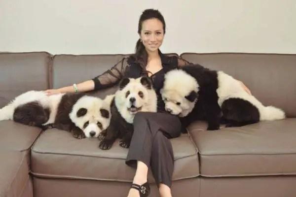 panda-chow-chow-600x400