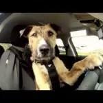 perro_conductor
