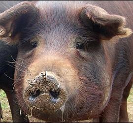 Cerdo ibérico.