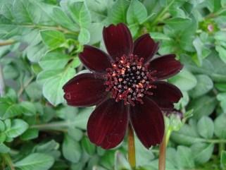 Chocolade Cosmos (vaste plant)