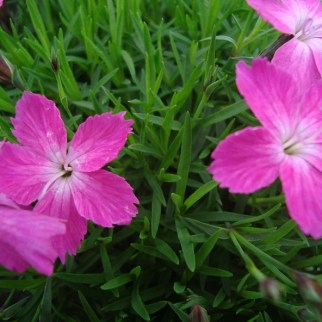 Dianthus (vaste plant)