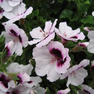 Franse Geranium kleinbloemig (Tip Top)