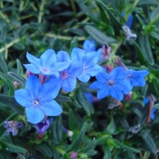 Lithodora (vaste plant)
