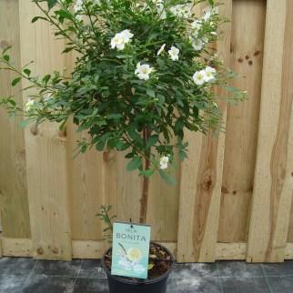 Solanum wit