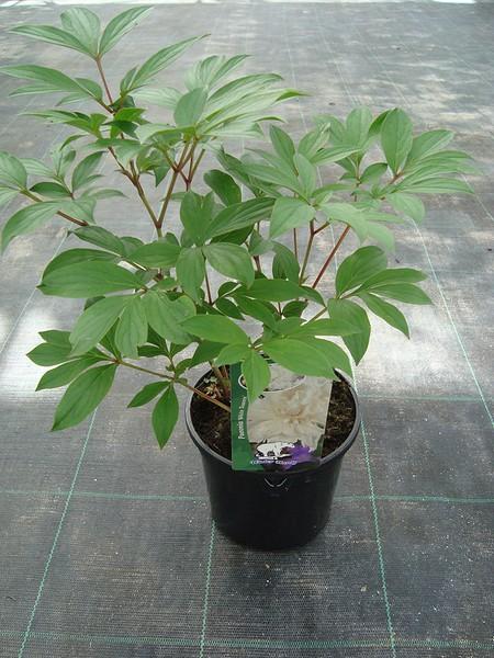 Paeonia - Boerenpioen