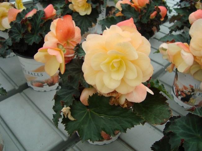 Dubbelbloemige en geurende Begonia