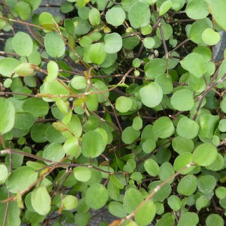 Muehlenbeckia (vaste plant)