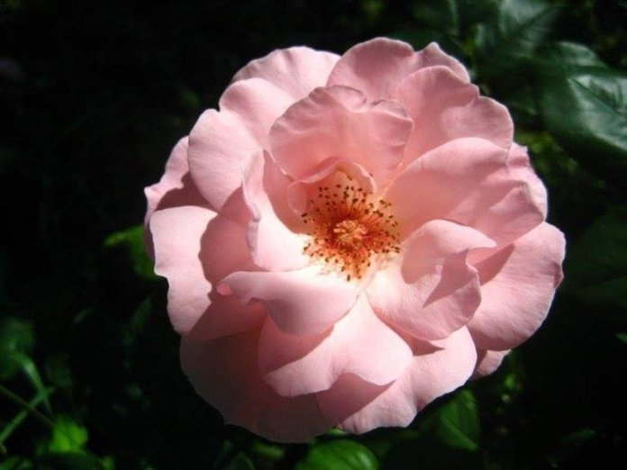 rosa fiore commestibile