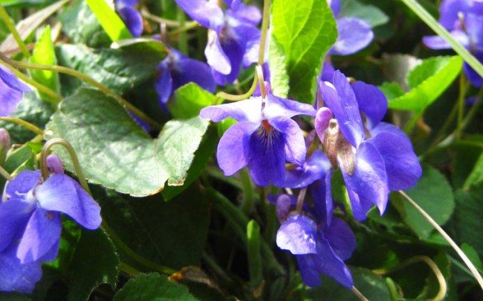 viola farfalle sara elke carozzo
