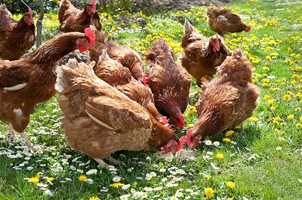 Les poules dans un jardin de permaculture