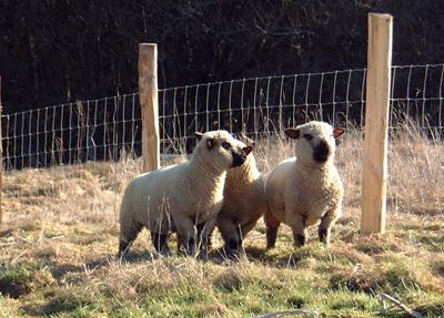 Grass fed sheep