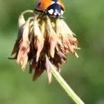 ladybird on clover