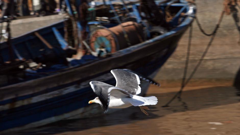 3. Maroko, As-Sawira. Kiedy rybacy wracają z połowu w porcie kłębi się mnóstwo mew. (Fot. Ewa Serwicka)