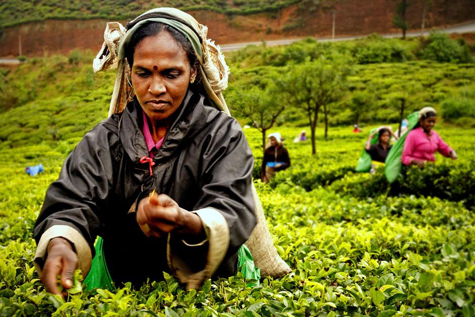 8. Sri Lanka, Nuwara Eliya. W ciągu dnia pracy kobiety zbierają średnio od 16 do 20 kg liści herbaty. (Fot. Ania Błażejewska)