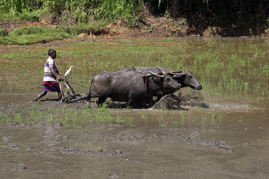 18. Sri Lanka. Rolnictwo lankijskie jest ekologiczne. Czasem jednak orze się za pomocą takich maszynek jak ten ni to motor, ni to traktor powyżej. (Fot. Ewa Serwicka)