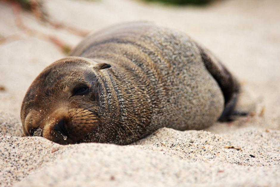 7. GALAPAGOS, plaża w Puerto Baquerizo Moreno na wyspie San Cristobal. Większość fok zupełnie nie boi się ludzi, ani też nie jest w stosunku do nich agresywna. Można do nich podejść na dosłownie kilka kroków. (Fot. Magda Biskup)