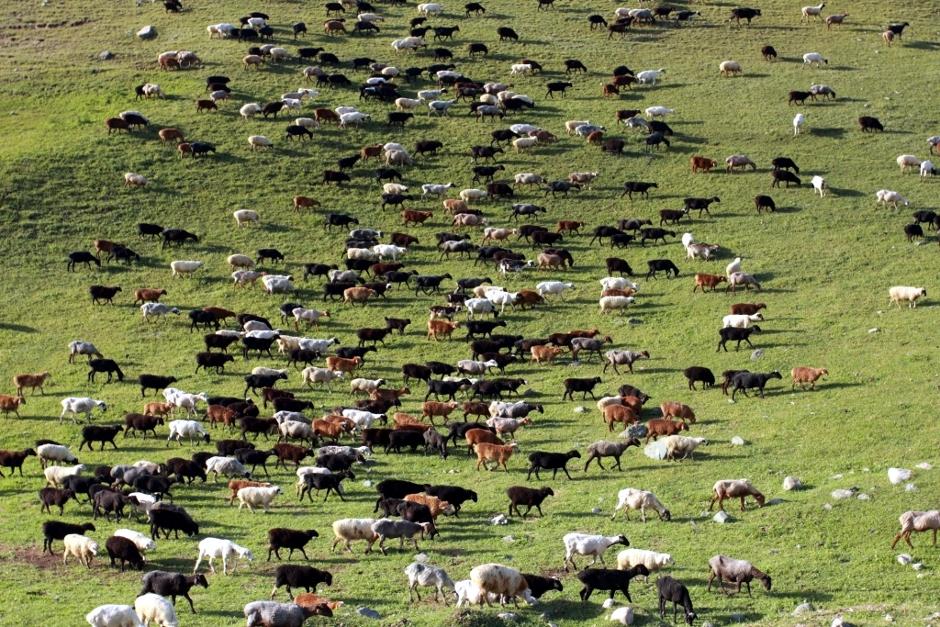 Wypas zwierząt w Kirgistanie