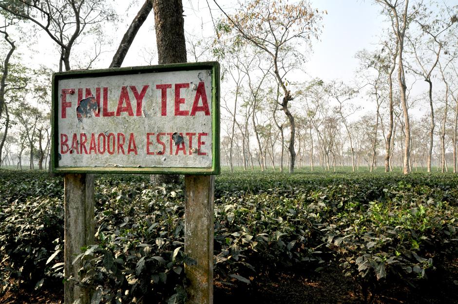 Plantacja herbaty w Bangladeszu. Galeria zdjęć