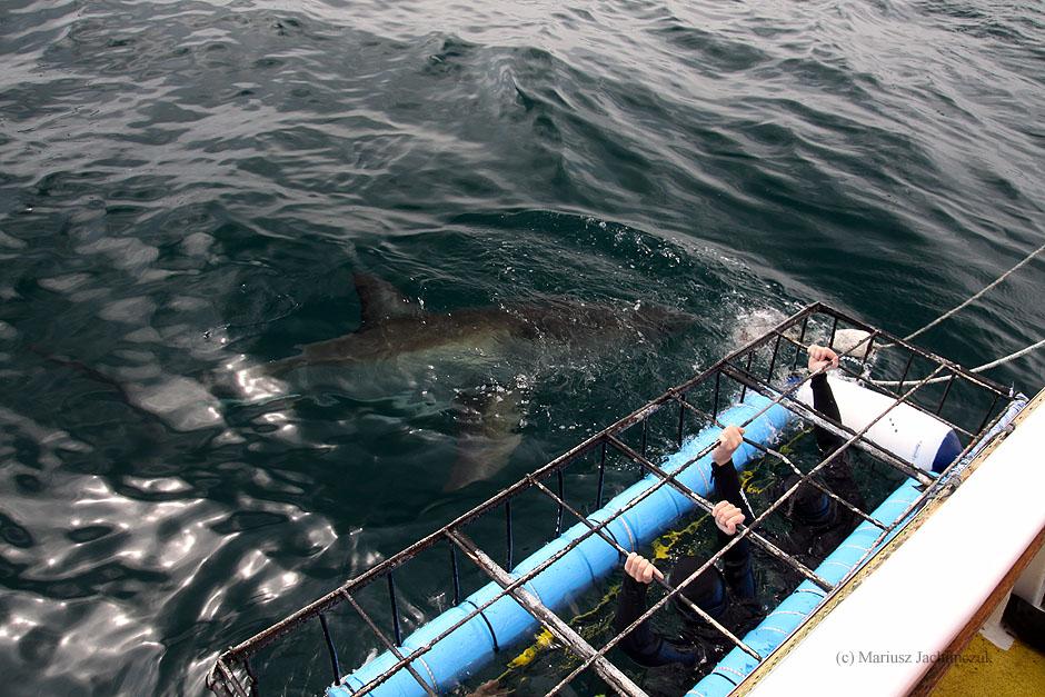 Nurkowanie z rekinami w RPA