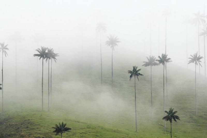 Oalmy w kolumbijskiej dolinie Cocora