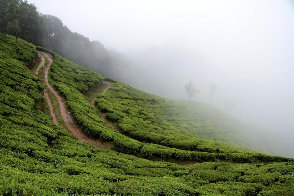 Herbata z Indii