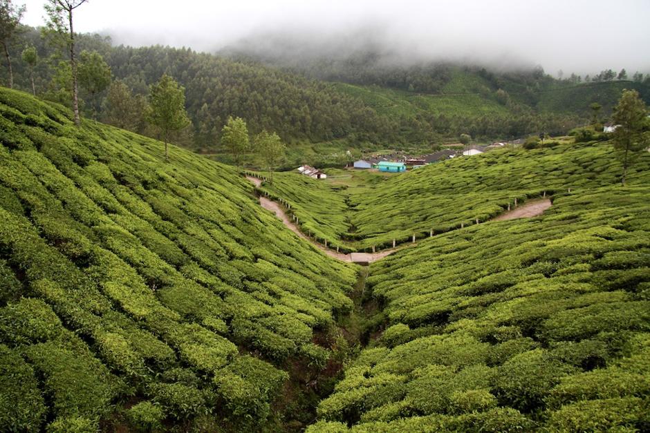 Krzewy herbaciane w Indiach