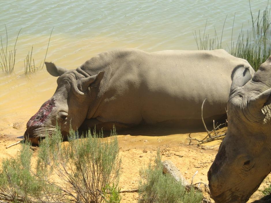 Nosorożce RPA