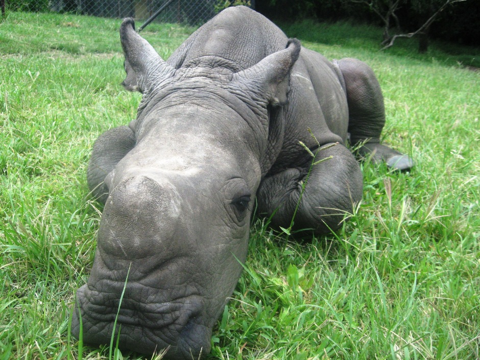 Mały nosorożec RPA