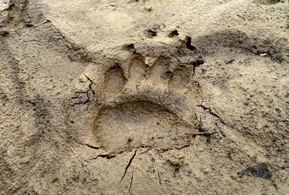 Stopa niedźwiedzia