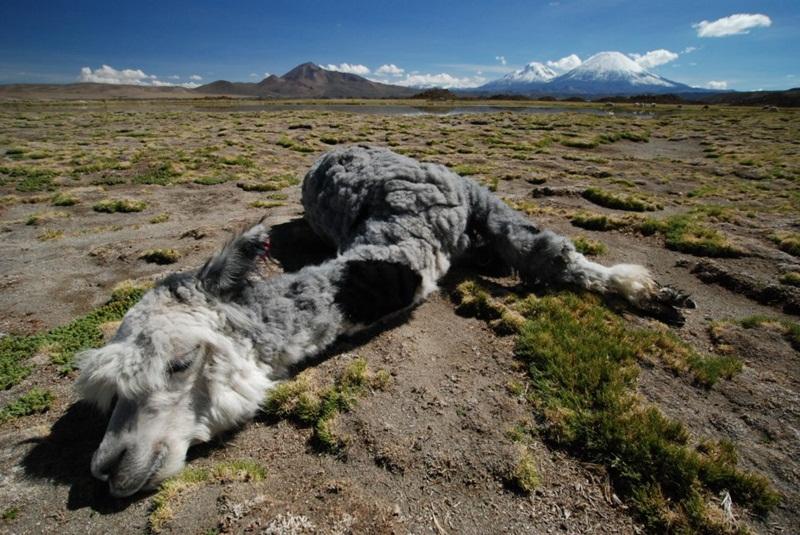 Peruwiańska lama.
