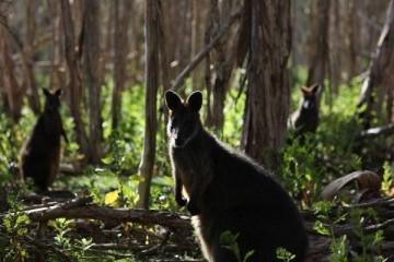 Kangury w Australii