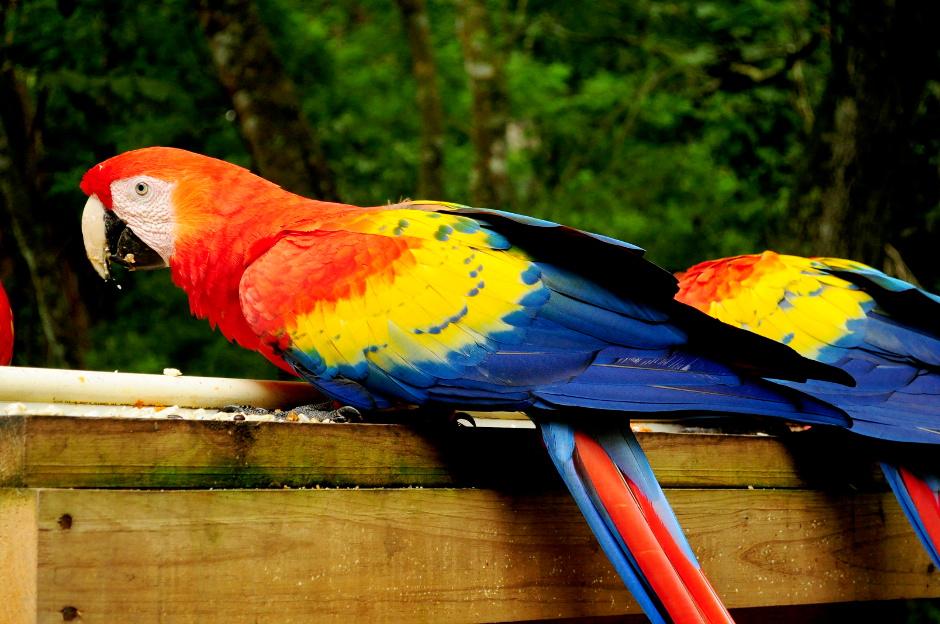 Guacamaya czyli ara żółto skrzydła lub czerwona