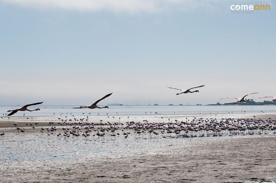 Afrykańskie pomarańczowe flamingi w locie