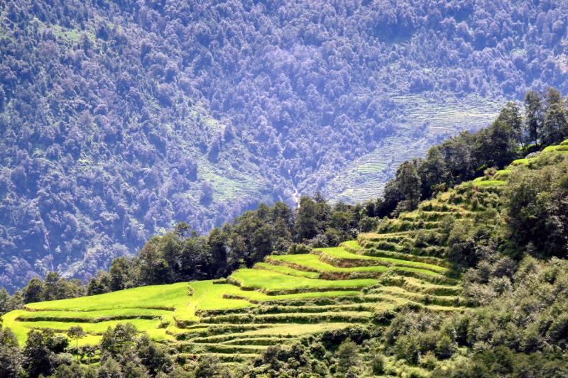 Pola ryżowe w Himalajach. Nepal (foto)
